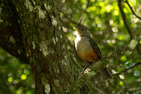 Rufous-bellied Thrush perched on a tree branch in the afternoon