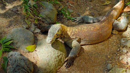 Lizard from komodo island in habitual habitat in sand with stones