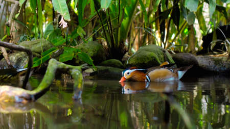Small duck tangerine sheds in the water in the usual habitat in the forest with green grass and sprawl Reklamní fotografie