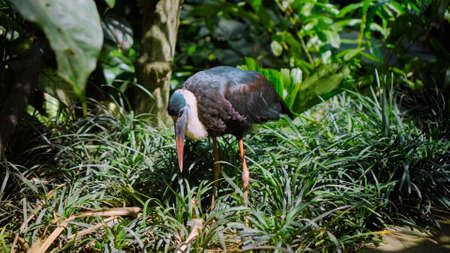 White-necked stork or Ciconia episcopus in the usual habitat in a forest with green plants