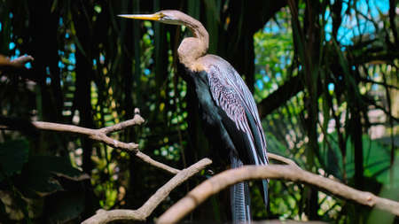 Amerikaanse Slangenhalsvogel or anhinga in habitual habitat in forest with green grass and sprawl