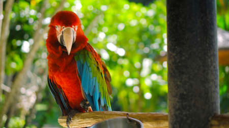 Parrot ara with red and green feathers in the usual habitat with green grass and sprawl sits on a wooden branch