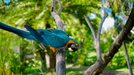 Parrot ara with yellow and blue feathers in its usual habitat with green grass and sprawl sits on a wooden branch