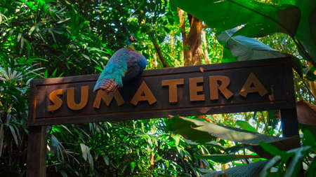 A large peacock with blue feathers in its usual habitat with green grass and sprawl sits on a wooden sign with the inscription Sumatera