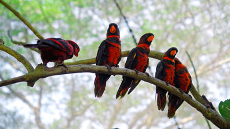 Group of parrots lory with blue and black feathers in the usual habitat in the forest of seated on a tree branch