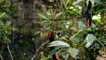 A black butterfly with white spots on its wings sits on a green tree leaf in the rainforest