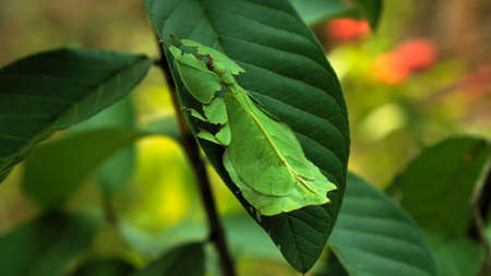Leaf Insect the green Phylliidae sticking under a leaf and well camouflaged and themes towards the stem on a tropical forest