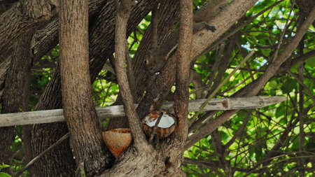 fluffy chipmunk sits on a tree branch and eats coconut with green leaves on the back background