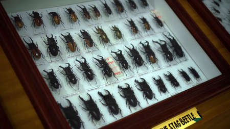 Buruan, Tabanan, Bali, Indonesia - 3, January 2021: Large Bugs Collection. Closeup view of many different colorful butterflies on bright white window Editorial