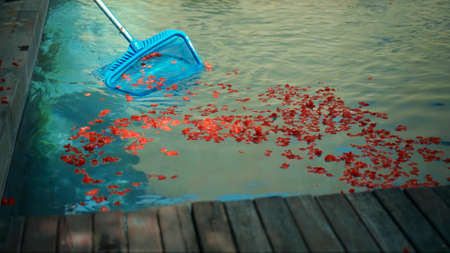 Cleanup swimming pool with blue water from red flower petals, tool with mesh on a long stick in the yard