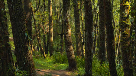 Beautiful green forest with lots of tall trees with coarse bark and daylight breaking through foliage Banco de Imagens