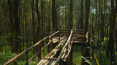 Beautiful green forest with lots of tall trees with coarse bark and daylight breaking through foliage with bridge