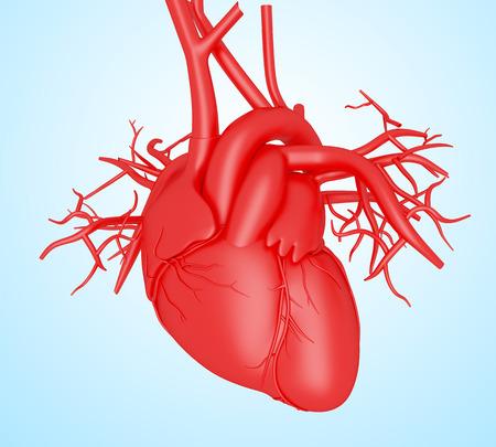 3d illustration. Human Body Organs, heart