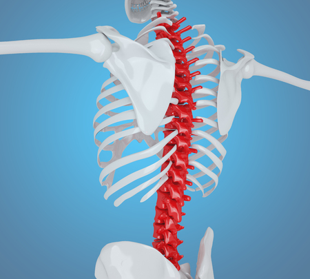 3d llustration. Human skeleton back, Skeleton Anatomy concept.
