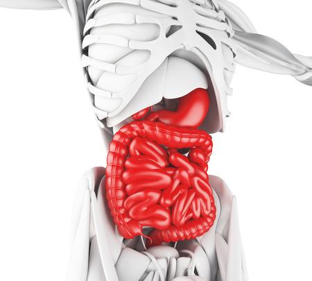 3d illustration. Digestive System, anatomy detail Stock Photo