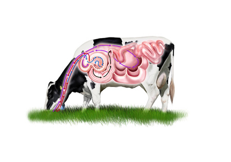 Digital illustration of a cow digestive system