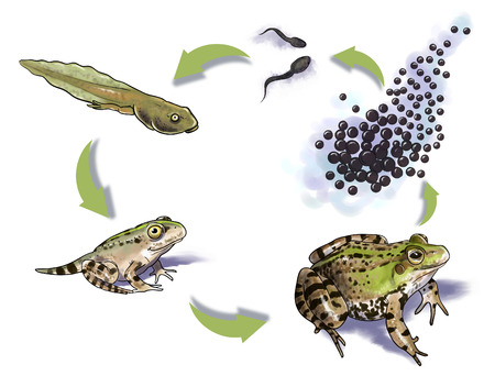 frog egg: Digital illustration of a frog life cycle Stock Photo