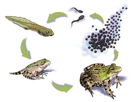 Digital illustration of a frog life cycle Foto de archivo