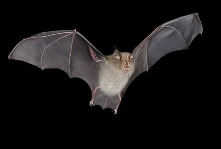 bate: Murciélago de herradura ilustración digital, fondo negro