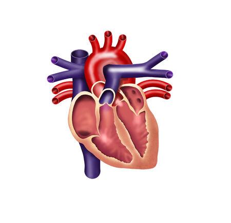 aorta: Human heart digital illustration, cutout Stock Photo