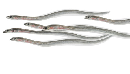 saltwater eel: Digital illustration of a group of Eel elvers