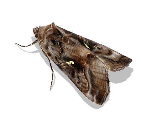 nocturnal: Digital illustration of the nocturnal moth Silver Y Stock Photo
