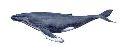 ballena: Ilustración de una ballena jorobada