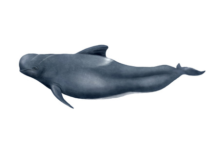 Digital illustration of a Long-finned pilot whale, pilot whale is really a dolphin. 版權商用圖片