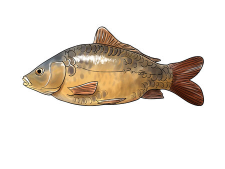common carp: Digital illustration of a common carp
