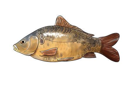 common carp: Digital illustration of a common carp