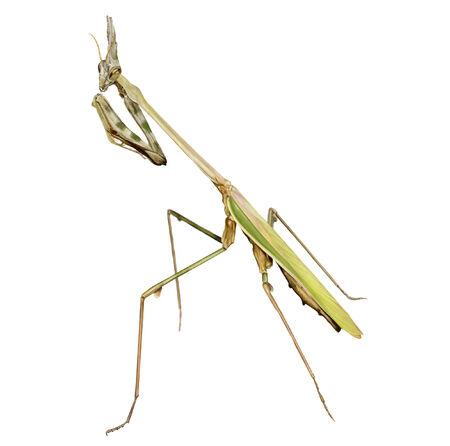 pennata: digital illustration of a female of conehead mantis