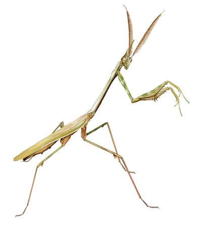 pennata: digital illustration of a male of conehead mantis