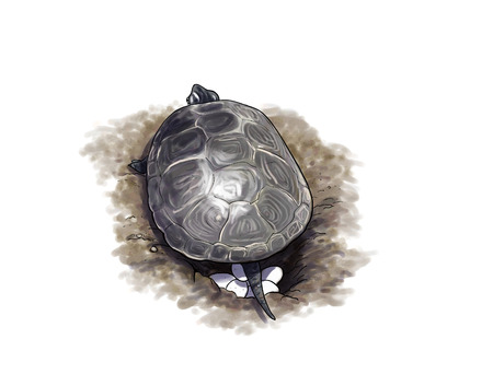 Digital illustration of a Terrapin turtle laying eggs 版權商用圖片