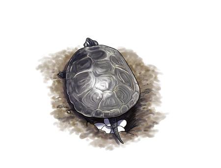 Digitale illustratie van een Terrapin schildpad eieren leggen