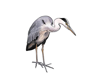 toon: Digital toon  illustration of a Grey heron isolated