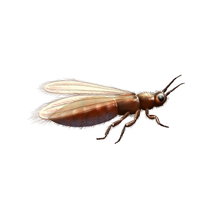 origin: Gymnospollisthrips, ancient insect illustration. Bee origin