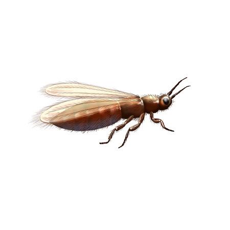 origen animal: Gymnospollisthrips, antigua ilustración insecto. Origen de la abeja