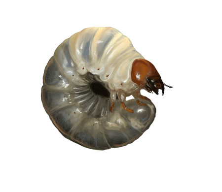 Digital illustration of a stag beetle larvae
