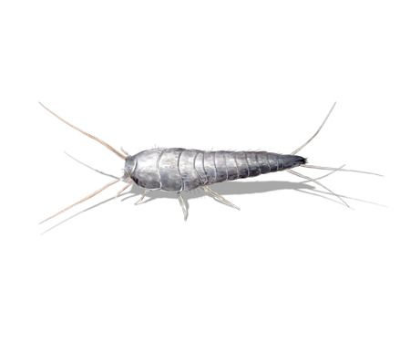 Digital illustration of a silverfish or fishmoth 版權商用圖片