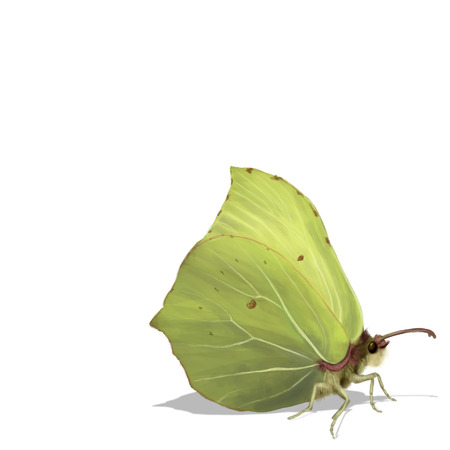 rhamni: Digital illustration of a Common Brimstone isolated