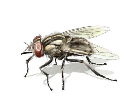 mosca: Ilustraci�n digital de una mosca com�n aislado Foto de archivo
