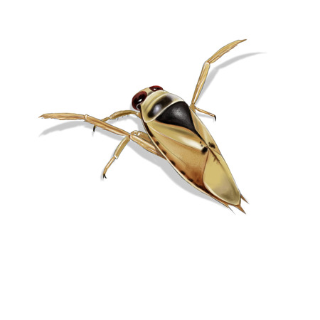 Digital illustration of a common backswimmer, isolated 版權商用圖片