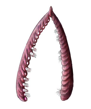 plankton: Ilustraci�n digital de un graptolites C�mbrico