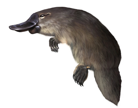 Digital illustration of a  platypus isolated 版權商用圖片