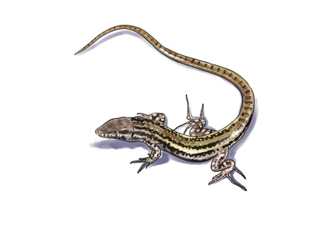 long tail: Lizard digital illustration, long tail Stock Photo