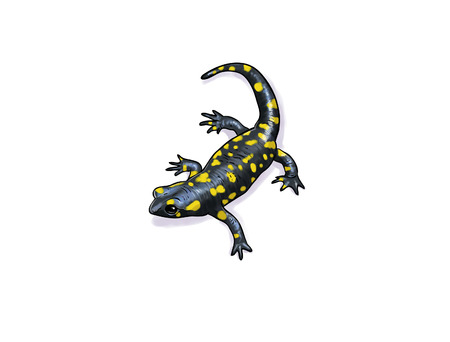 salamandre: Digital illustration of a salamander, inked