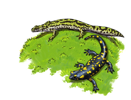 salamandre: Tailed amphibians, newt and salamander digital illustration Banque d'images
