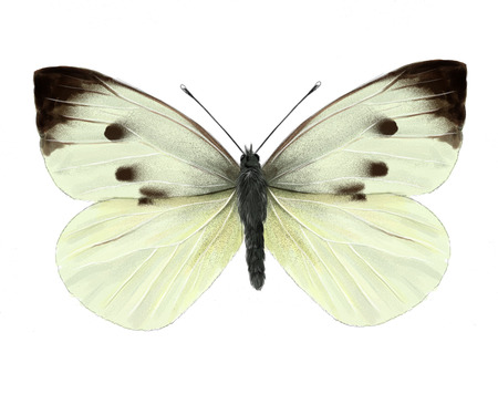 pieridae: cabbage butterfly digital illustration, isolated