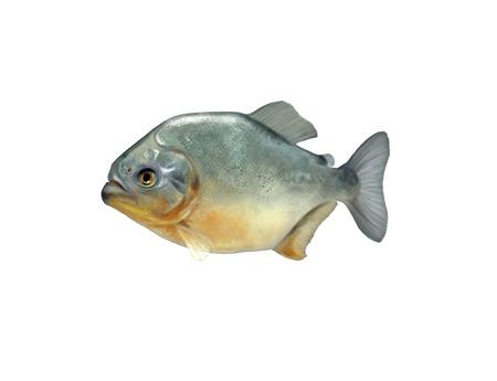 Digital illustration of a piranha illustration