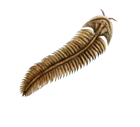 carboniferous: Ediacara Spriggina fossil, digital illustration Stock Photo